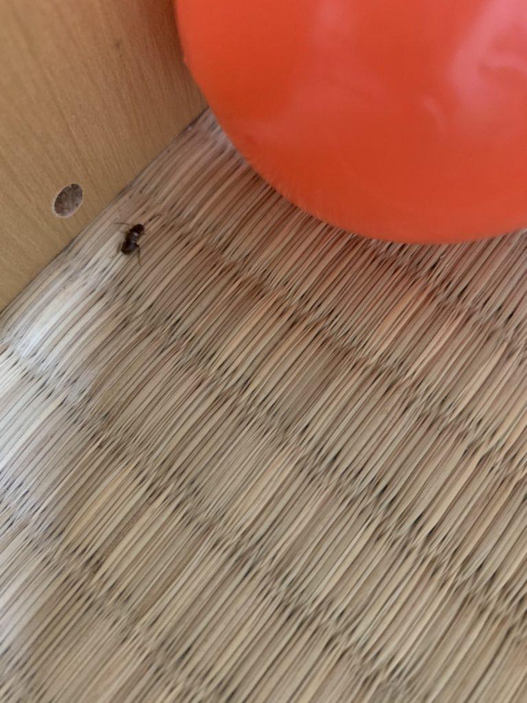 クロゴキブリ(12月/奈良県)