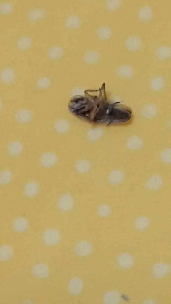 チャバネゴキブリ(2月/鹿児島県)