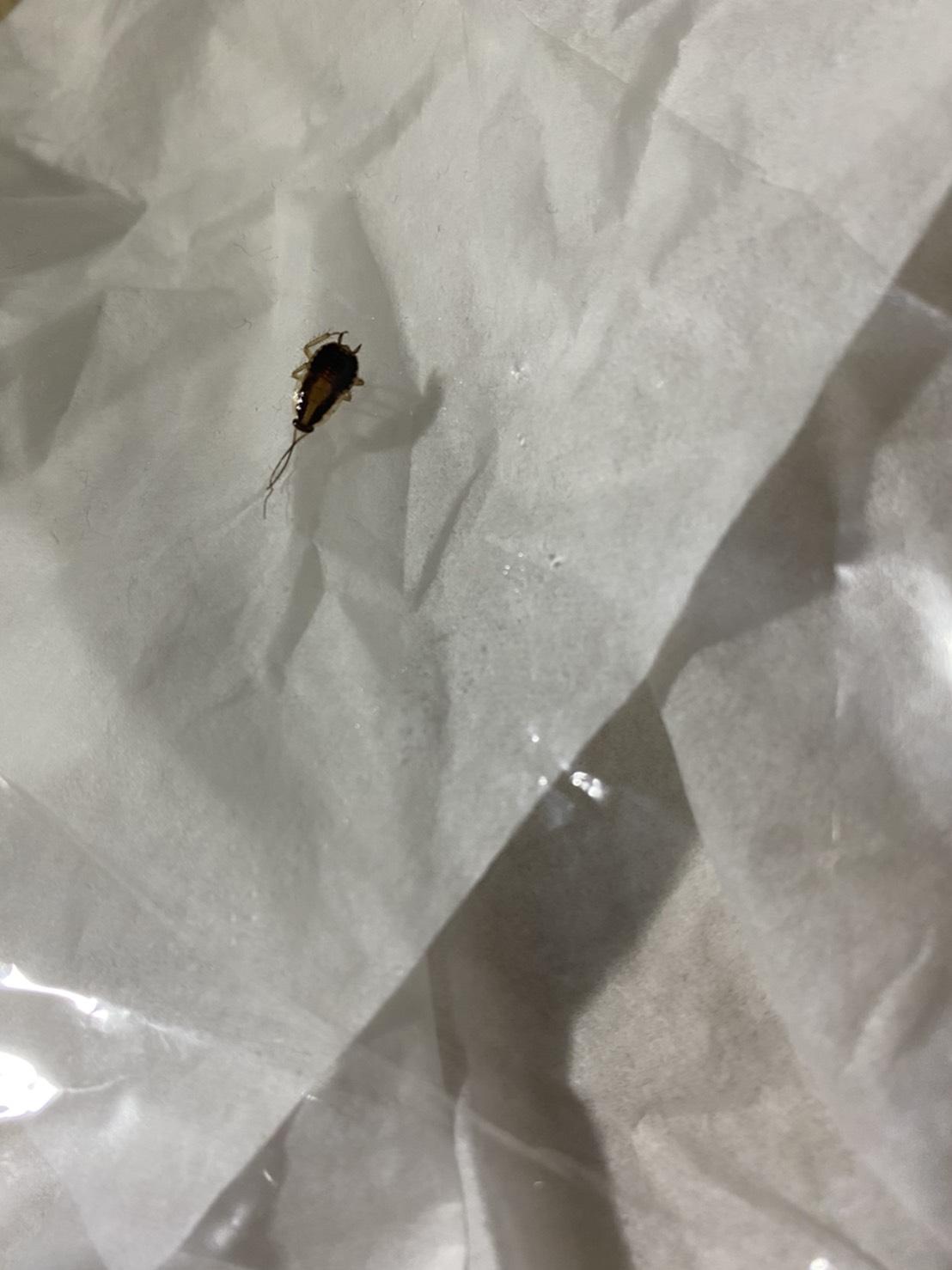 チャバネゴキブリ(3月/東京都)