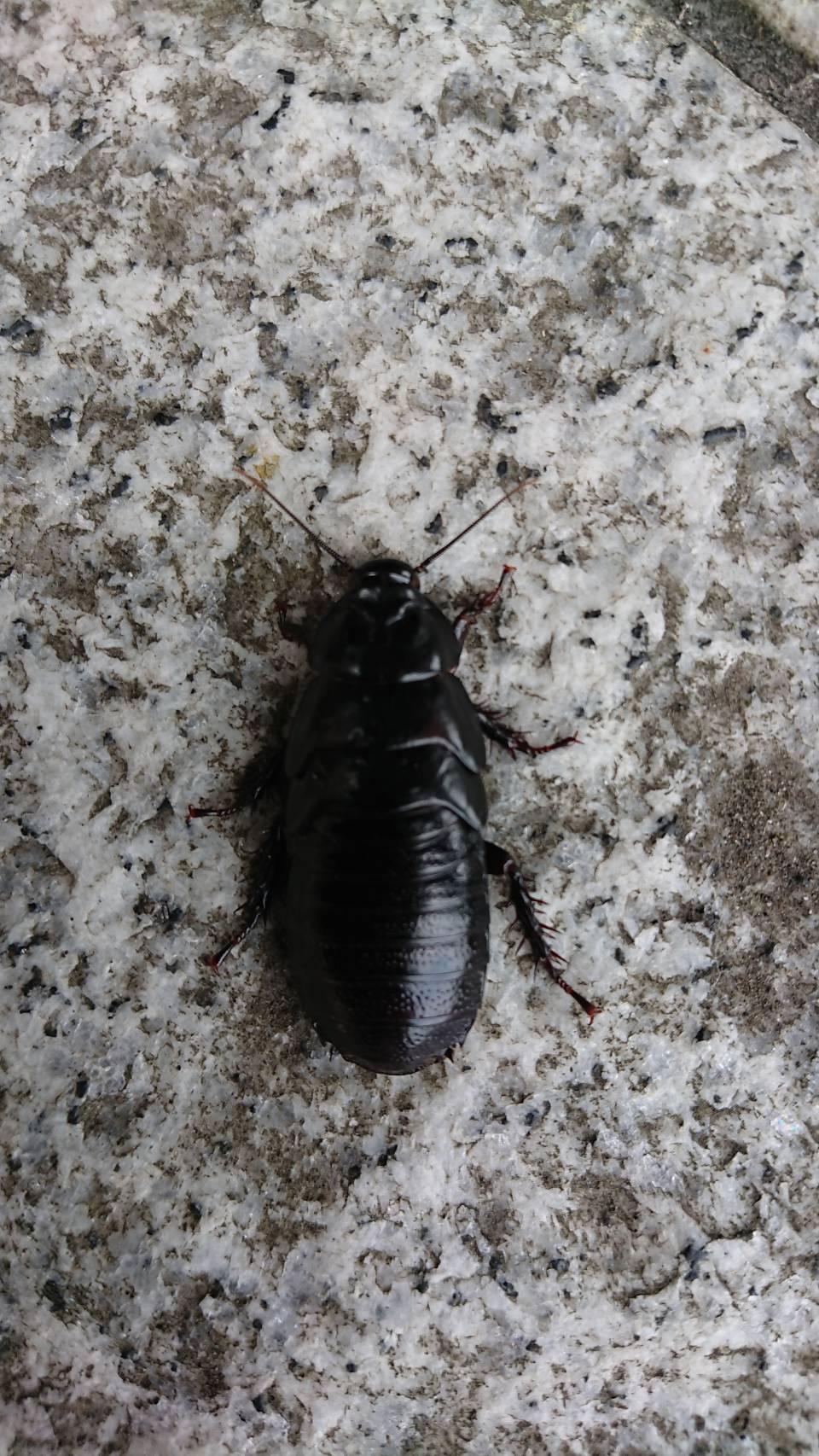 オオゴキブリ(6月/不明)