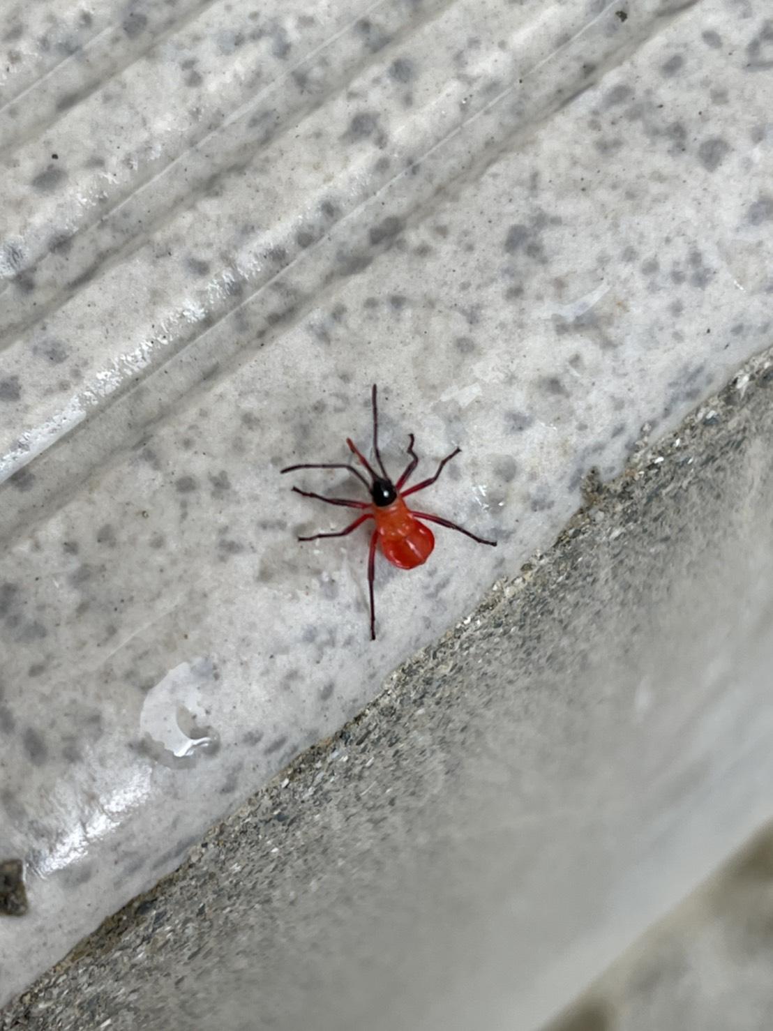 シロジュウジホシカメムシ(9月/沖縄県)