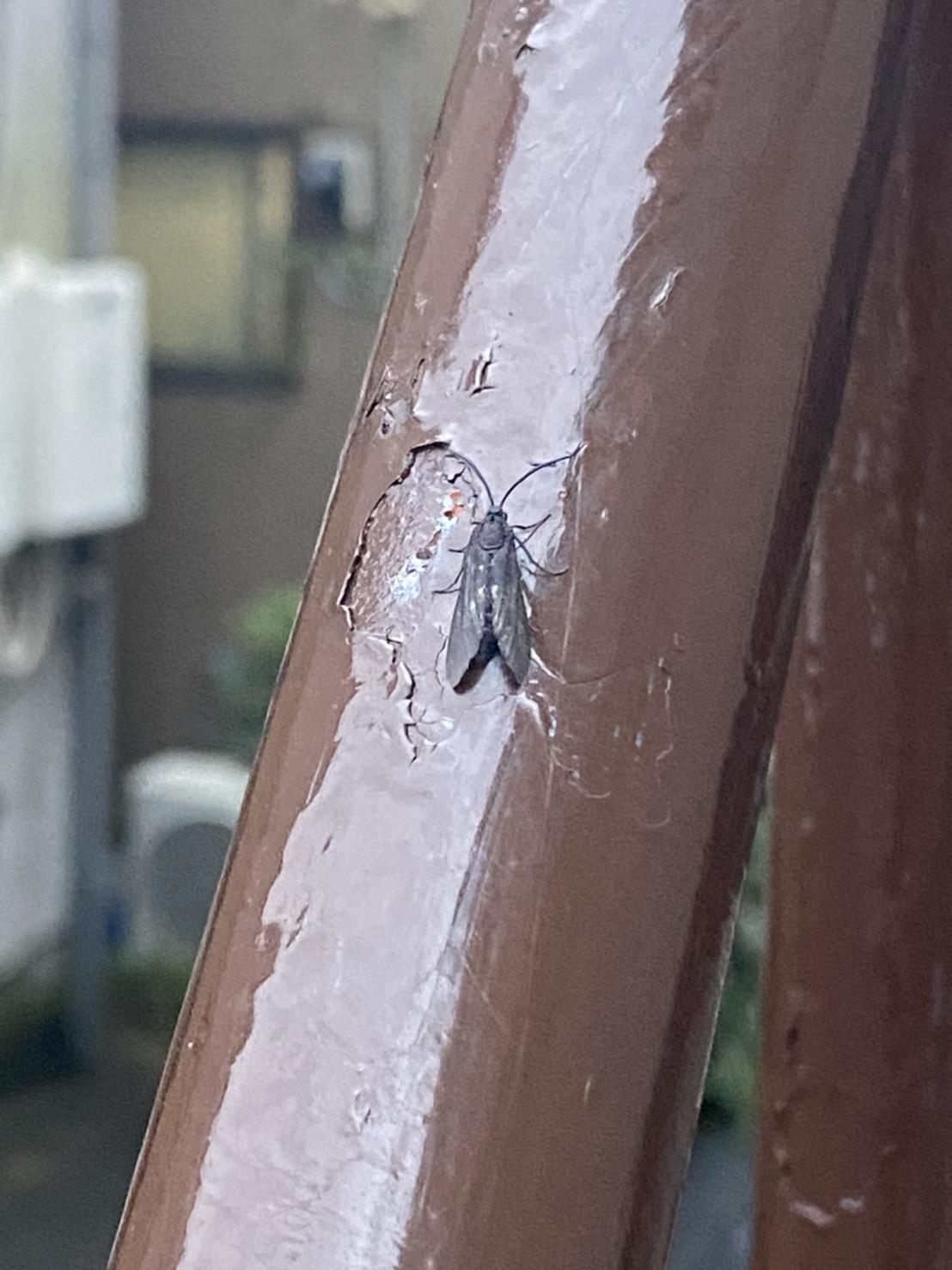 タケノホソクロバ(9月/東京都)